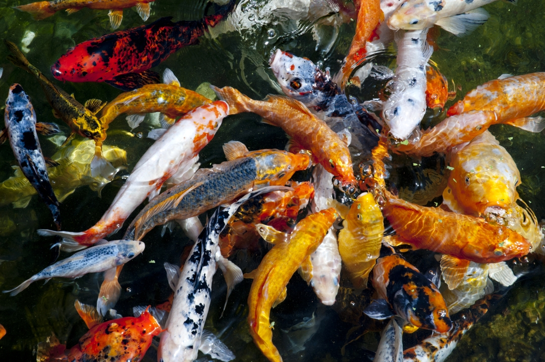 Koi Fish By Pets Fauna All About Koi Fish Tips